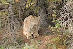 Un Lynx adulte se tapit à base d'épinette près Teklanika du camping dans le Parc National Denali et Preserve, intérieur de l'Alaska, l'été