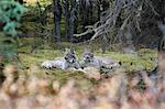 Paire de Lynx repose en ouverture moussue dans la dense forêt d'épinettes près du ruisseau Igloo dans le Parc National Denali et Preserve, intérieur de l'Alaska, automne