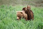 Deux petits ours brun enfourcher leur mère à travers le Carex herbes près de la rivière McNeil McNeil rivière état Game Sanctuary, sud-ouest de l'Alaska, été