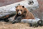 Un ours brun adulte repose sur un journal dans le centre de Conservation de la faune Alaska près de Portage, centre-sud de l'Alaska, printemps, captif