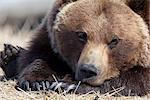 Bouchent le portrait d'un ours adulte endormi dans le centre de Conservation de la faune Alaska près de Portage, centre-sud de l'Alaska, printemps, captif