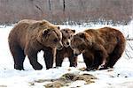 Deux bears(lt) brun & un bear(rt) Grizzly debout face à face dans le centre de Conservation de la faune Alaska près de Portage, centre-sud de l'Alaska, printemps, captif