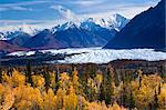 View of Matanuska Glacier with golden autumnal Aspen trees in the foreground, Matanuska-Susitna Valley, Southcentral Alaska, Fall