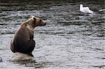 Mâle adulte sub Grizzly est assis sur un rocher au milieu de la rivière Brooks en attente pour le frai des saumons, Katmai National Park et Preserve, sud-ouest de l'Alaska, l'été