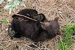 Grizzly cub roule sur le dos en jouant avec un bâton sous les plates-formes d'observation à Brooks Falls dans Katmai National Park and Preserve, sud-ouest de l'Alaska, l'été
