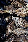 Oyster shellfish