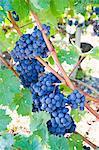 Bordeaux grapes, Gironde, France