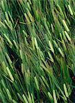 Grain vert dans un champ.