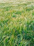 Un champ de céréales.