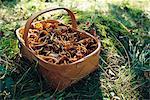 Un panier rempli de girolles entonnoir, Suède.