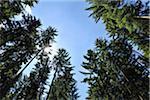 Sun through Coniferous Forest, Pfalzerwald, Rhineland-Palatinate, Germany