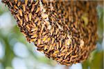 Swarm of Giant Honey Bees
