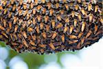 Nid d'abeille de miel géant