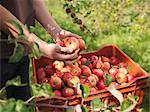 Agriculteur détient des pommes au verger