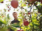 Cueillette des pommes fermier dans le verger
