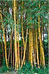 Bamboo, Maui, Hawaii, USA