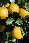 Lemons, Portola, San Francisco, California, USA