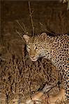 Leopard avec kill frais