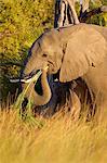 Elephant, eating grass