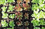 Plantation de salades