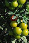 Tomates sur la plante