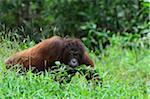 Orang-outan, Lok Kawi Wildlife Park, Sabah, Borneo, Malaisie
