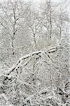 Frische Schneedecke, Pacific Spirit Regional Park, Vancouver, British Columbia, Kanada