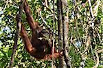 Orang-Utan, Semenggoh Wildlife Centre, Semenggoh Nature Reserve, Sarawak, Borneo, Malaysia