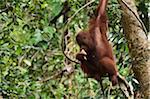 Orangutan Eating, Semenggoh Wildlife Reserve, Sarawak, Borneo, Malaysia