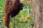 Orang-Utan mit Young, Semenggoh Wildlife Reserve, Sarawak, Borneo, Malaysia