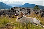 Golden Labrador Retriever, Reginald Hill, Salt Spring Island, British Columbia, Canada