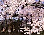 Jindai Cherry Blossoms, Yamanashi, Japan