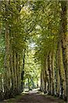 France, Tarn, Soreze.  Avenue of plane trees, in the grounds of the Abbaye Ecole de Soreze.