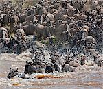 Gnous traversant la rivière Mara au cours de leur migration annuelle du Parc National du Serengeti en Tanzanie du Nord à la réserve nationale de Masai Mara.