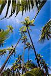 Palm Trees, Fafa Island Resort, Nuku'alofa, Tongatapu, Kingdom of Tonga