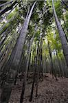Forêt de bambous, Sagano, Arashiyama, Kyoto, Kansai, Japon