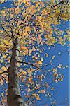 Baum im Herbst, Mont Tremblant, Quebec, Kanada