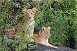 Lion Cubs, Masai Mara National Reserve, Kenya