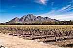 Vines in vineyard