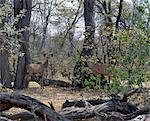 Un mélange de jeune mâle et femelle grand koudou dans leur environnement dans une zone boisée de la Reserve.Moremi de la faune de Moremi incorpore des chefs de l'île et a été la première réserve en Afrique à être créé par les indigènes africains.
