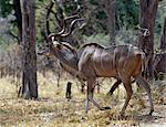 Un magnifique grand koudou caractérisé par la bande latérale sur son pelage gris-brun et spiralé double tire-bouchon cornes, mélanges dans son environnement dans une zone boisée de la réserve faunique de Moremi.