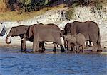 Éléphants boivent à la rivière Chobe en fin d'après-midi.Éléphants peuvent passer plusieurs jours sans eau, mais boire et se baigner tous les jours par choix.Durant la saison sèche, quand tous les trous d'eau saisonniers et casseroles ont séché, des milliers d'animaux sauvages convergent sur la rivière Chobe, à la frontière entre le Botswana et la Namibie.