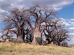 Un bosquet spectaculaire de baobabs antique, appelée Baines Baobabs, perché sur le bord oriental de la Kudiakam Pan dans le Parc National de Nxai Pan.