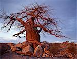 Un arbre noueux baobab pousse entre les rochers à Kubu Island sur le bord de la Sowa Pan.This pan est l'est de deux immenses marais salants comprenant l'immense région de Makgadikgadi du Kalahari du Nord parmi les plus grandes étendues de marais salants dans le monde.