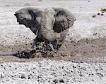 Un éléphant bénéficie d'un trou de boue bourbeux dans le Nxai Pan National Park.Situated au nord de la Mkgadikgadi casseroles, ce parc de 2 658 km2 est plat et sans relief, mais après la pluie, ses prairies soutiennent une population de la grande faune transitoire.