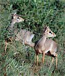 Deux dikdiks dans la réserve nationale de Kenya.They Nord Samburu sont territoriaux et vivant en couple monogame. Seuls les mâles ont des cornes petites.Bien adapté aux terres arides semi, ils sont complètement indépendants de l'eau, obtenir toute l'humidité que dont elles ont besoin de leur nourriture.