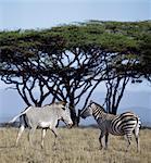 Une commune ou le zèbre de Burchell se situe à proximité d'un zèbre de Grevys au nord du Kenya, montrant clairement la différence entre les deux espèces. Le zèbre de Grevys représente la plus au nord de la famille de zèbre, il est répertorié par l'UICN comme une espèce menacée.