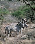 Grevys zèbres vivent dans des pays de la brousse sèche en Kenya.They du Nord sont les représentants les plus au nord de la famille de zèbre et se distingue de la commune ou le zèbre de Burchell de la structure en grande forme soucoupe oreilles et fermer set rayures.Elles sont répertoriées par l'UICN comme une espèce menacée.