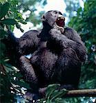 Chimpanzé adulte l'appel de la forêt. Les montagnes Mahale, situé sur un renflement le long de la rive orientale du lac Tanganyika, augmenter spectaculairement pieds 8 069. Les flancs des montagnes sont couvertes de forêt tropicale, où de nombreux arbres montrent une plus grande affinité pour des espèces ouest-africains que pour ceux de l'Afrique. Protégé par un parc national depuis 1980, les montagnes sont abrite l'un de la nature plus importante