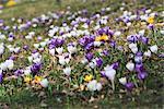 Crocus in spring, Sweden.